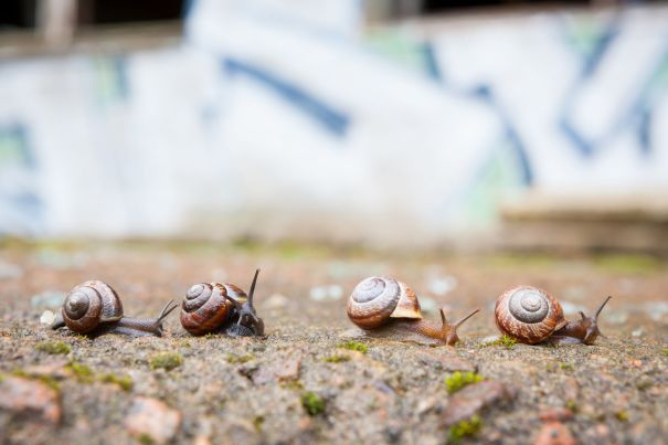 41242999 - group of small snails going forward